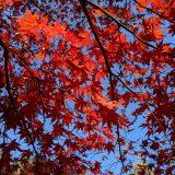 河口湖総合公園紅葉