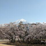 河口湖の桜 八木崎公園